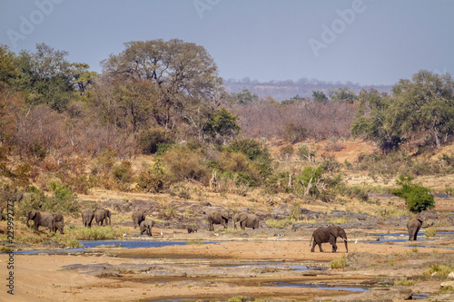 African bush elephant in Kruger National park, South Africa ; Specie Loxodonta a Wallpaper Mural