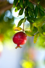 Ripe Fruit Hanging On A Pomegranate Tree