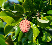 Magnolia Tree Fruit