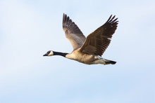 Lone Goose Flying