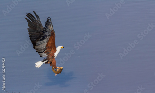 African fish eagle in Kruger National park, South Africa ; Specie Haliaeetus vocifer family of Accipitridae