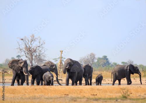 Fotografie, Obraz  Herd of elephants and a lone giraffe at a waterhole in Hwange National Park, zIM