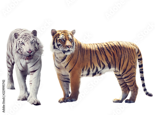 Fotografie, Obraz  White And Brown Tigers  on white background