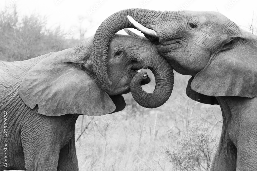 Fototapeta Elephants embracing and caring for each other. Showing love in the Timbavati Game Reserve, South Africa.