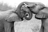 Elephants embracing and caring for each other. Showing love in the Timbavati Game Reserve, South Africa.