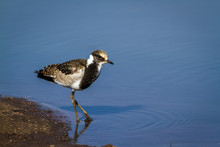 Blacksmith Lapwing In Kruger National Park, South Africa ; Specie Vanellus Armatus Family Of Charadriidae
