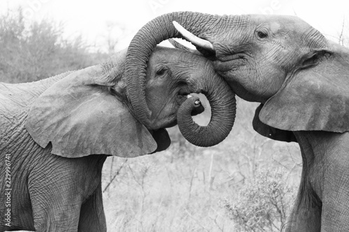 Tuinposter Olifant Elephants embracing and caring for each other. Showing love in the Timbavati Game Reserve, South Africa.