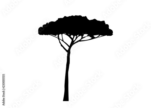 Fotografía Maritime Pine tree, Pinus Pinaster mediterranean plant, vector isolated on white