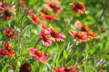 Indian Blanket (Gaillardia Pulchella) Wildflowers