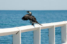 Busselton Australia, Cormorant Perched On Railing With Wings Extended