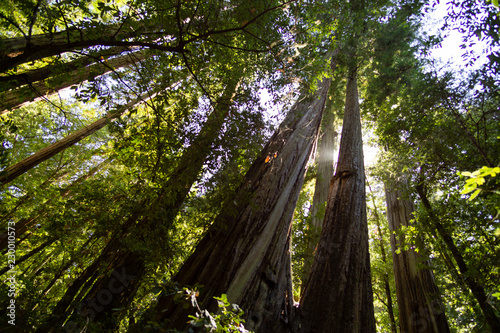 Fotografie, Obraz  Redwood Trunks
