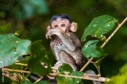 Tuinposter Bali Baby Macaque Monkeys in the trees along the Kinabatangan River in Borneo