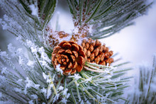 Frost Covered Pine Cone On A Pine Tree In The Winter. Season Greetings, It's Christmas Time!