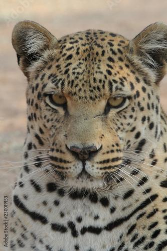 Foto op Aluminium Luipaard Leopard