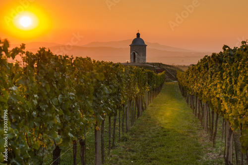 Photo  Vineyards in Moravia at sunset