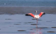 Greater Flamingo ( Phoenicopte...