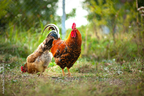Foto  Beautiful cock and his chicken breed Kuchinskaya-anniversary lazily walking on t
