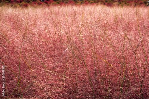 Foto op Aluminium Baksteen Pink muhly grass