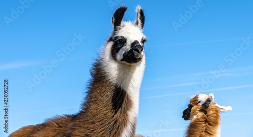 Spoed Foto op Canvas Lama WIlDLIFE, FARM, GERMANY - The portrait of two young lamas, they live on a pasture in Deckenbach Germany on a sunny day with blue sky.