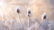 Dried Wild Teasel Flower Heads...