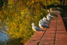 Young White And Grey Seagulls, Chroicocephalus Ridibundus, Standing On Red Brick Wall, Sunny Autumn Evening, Blurry Yellow, Orange And Green Leaves In Background, City Landscape