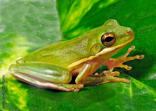 Amerikanischer Laubfrosch (Hyla cinerea) - American green tree frog
