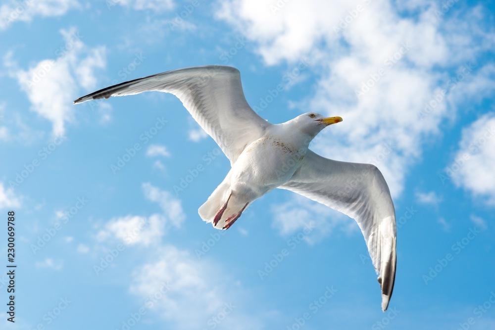 Silbermöwe (Larus argentatus), fliegt vor Sommerhimmel mit Wölkchen, Dover, Ärmelkanal, Großbritannien, Europa, Textfreiraum, Copy space