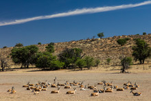 A Herd Of Springbok Resting In...