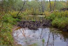 Beaver Dam On The White Backgr...