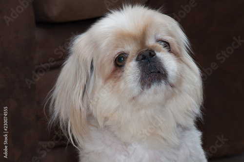Poster Animaux de Hipster Close up portrait of a pekingese dog