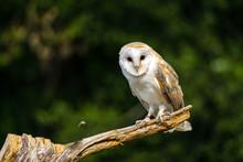Barn Owl In Dried Field