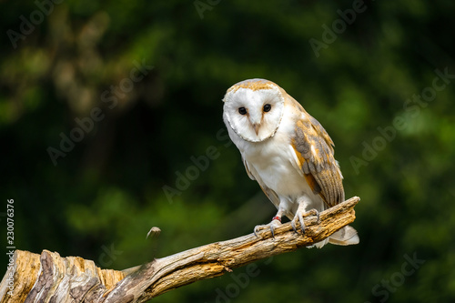 Barn owl in dried field