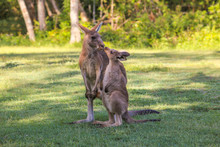Young Kangaroo  Kisses Mother....
