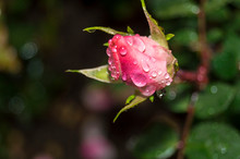 Beautiful Rose, Covered With Dew Drops. Macro. Close-up.