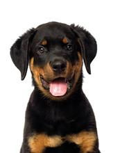 Rottweiler Puppy Portrait On A White Background