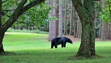 A Color Image Of A Black Bear In A Back Yard Near Mill Creek, Huntingdon County, Pennsylvania.