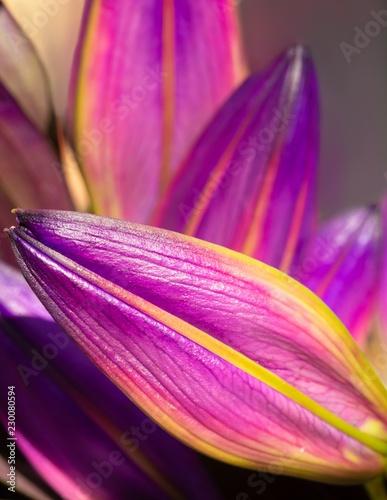 Aluminium Prints Macro photography purple lilies
