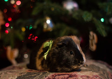 Guinea Pig As A Christmas Gift - Under The Christmas Tree
