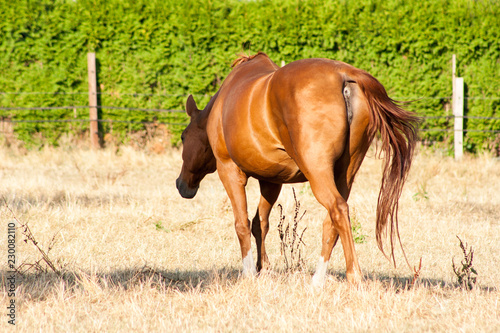 A beautiful light-brown horse goes on a meadow. View of its tail and rump