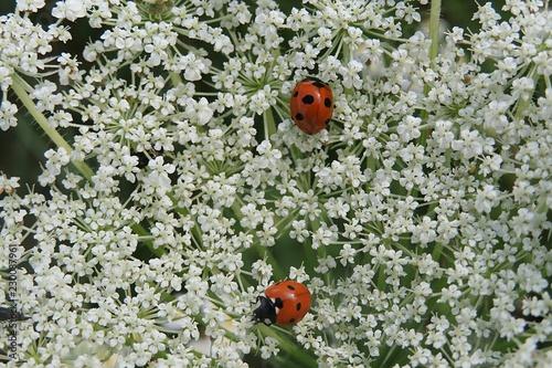 Ladybug on a heracleum plants