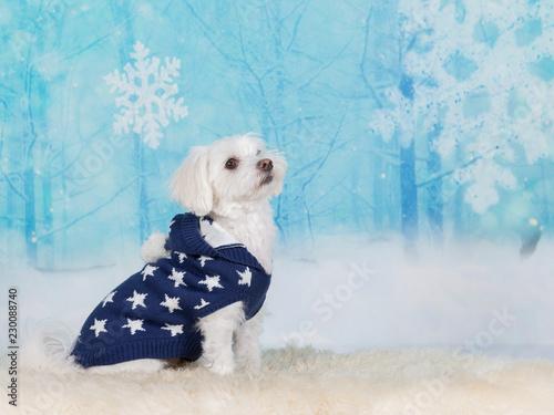 Cute Maltese dog wearing a blue starry sweater in a studio.