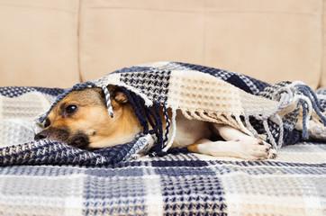 Fototapeta sad dog under the blanket