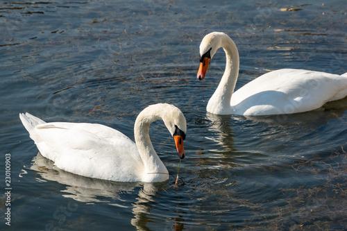 Poster Cygne A pair of white swans Cygnus olor feeding on aquatic plants on the lake in Goryachiy Klyuch. Krasnodar region.