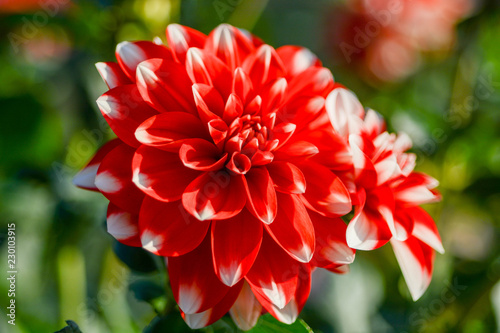 Poster de jardin Dahlia red flower head