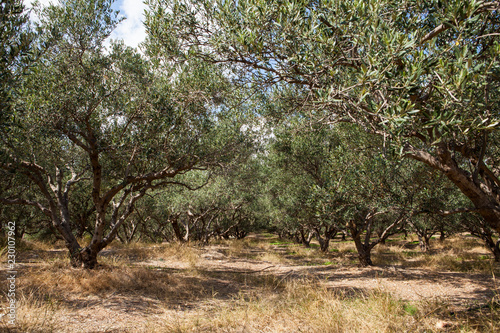 Olive trees in fields. Large olive plantations in the the mountains. crete,Greece