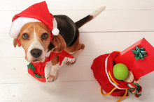 Cute Little Dog With Santa Hat...