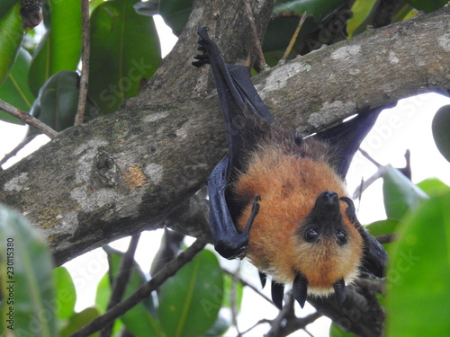 Cut fruit bat hanging in a tree