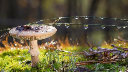 Amanita Phalloides fungus, poisonous subject in wild mountain close up on a rainy day