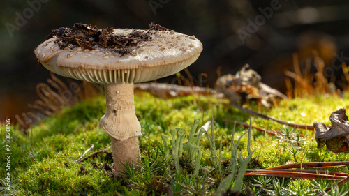 Amanita Phalloides fungus, poisonous subject in wild mountain close up on a rain Wallpaper Mural