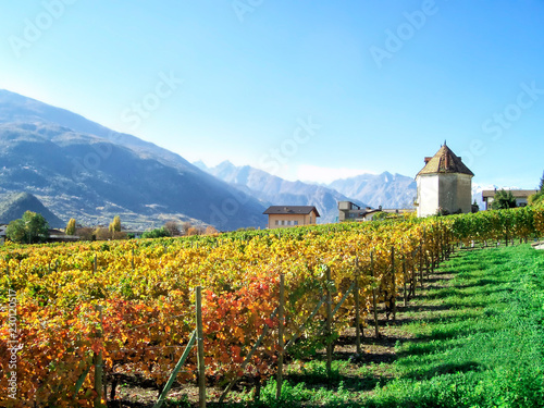Grape Plantation for wine at Aosta Valley, Italy